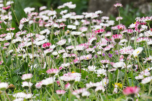 Gänseblümchen auf der Wiese