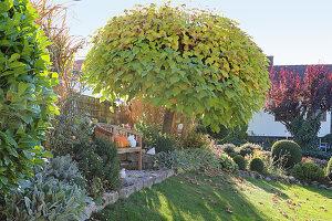 Trompetenbaum im herbstlichen Garten, runde Bank mit Kürbissen