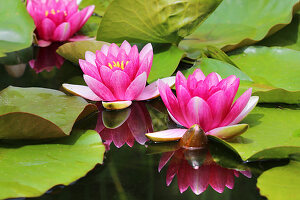 Seerose 'Laydekeri Lilacea'