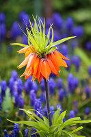 Flowering imperial fritillary (Fritillaria imperialis)