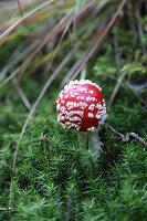 Fly agaric mushroom in moss
