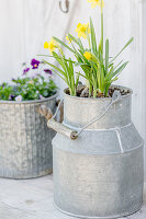 Spring arrangement of narcissus in metal milk churn
