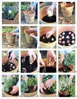 Töpfe bepflanzen mit Blumenzwiebeln, Christrose, Lavendelheide und Skimmie