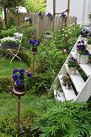 Potted violas in spring garden