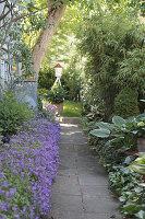 Gartenweg mit Polsterglockenblumen, Funkien, Bambus und Efeu