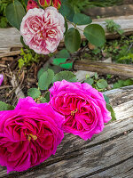 Roses 'Young Lycidas' and 'St. Swithun'