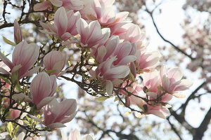 Blühende Tulpenmagnolie
