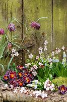 Frühlingserwachen mit Primel, Traubenhyazinthen, Schachbrettblume und Blutpflaume