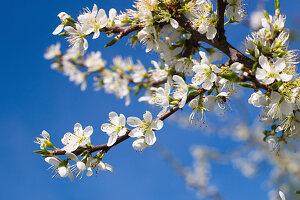 Blooming sloe in spring