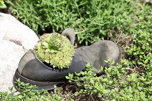 Houseleek planted in old shoe