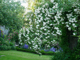 Rambling rose 'Lykkefund' in rustic rose garden