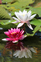 Blooming water lilies in the garden pond
