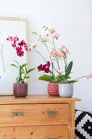 Moth orchids and Dendrobia orchid on top of chest of drawers