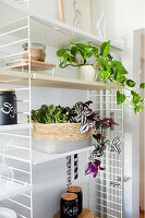 Devil's ivy, inch plant and bear's paw succulent on shelves