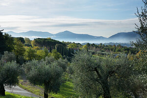 Olive grove in Italy
