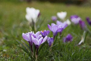 Blühende Krokusse im Rasen