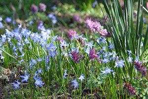 Blausternchen und Lerchensporn im Frühlingsgarten