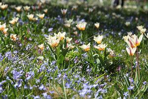 Blumenwiese mit Tulpen 'Hope' und Blausternchen