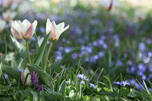 Tulip 'Hope', corydalis and squill flowering in lawn