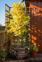 Fan-leaf tree with yellow autumn colours in a wooden tub on the terrace