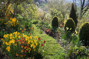 Slope garden with flowering golden violet and shape-cut boxwood cones in spring