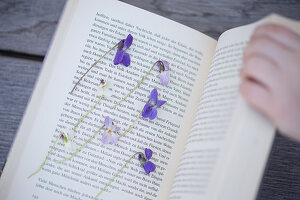 Violet flowers being pressed in a book