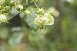 Floribunda rose 'Lovely green'
