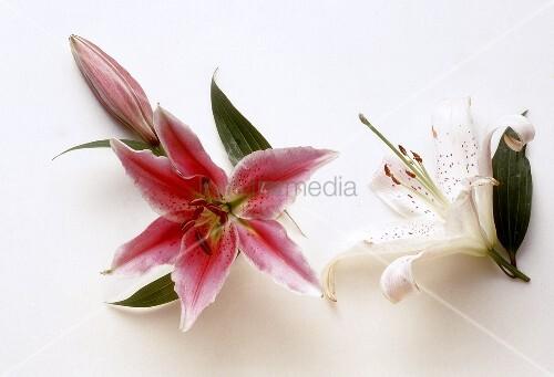 Rote & weiße Lilienblüte