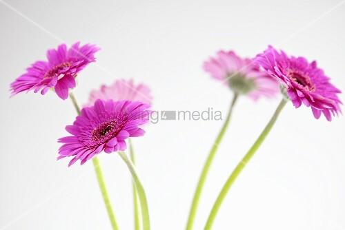 Several pink gerberas
