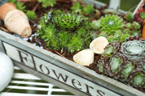 Alpine plants growing in a wooden crate