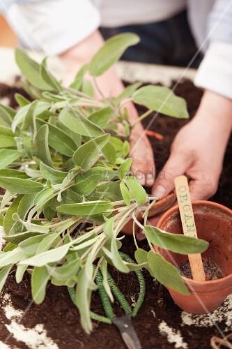 Salbei in einen Topf pflanzen