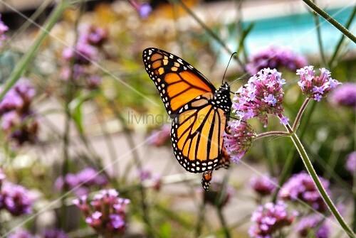 Monarch Butterfly on Verbena Flower