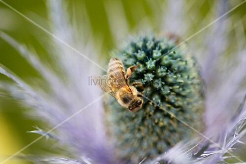 A bee on a thistle