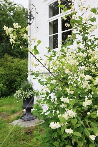 White-flowering shrub against corner of white-painted house with lattice window