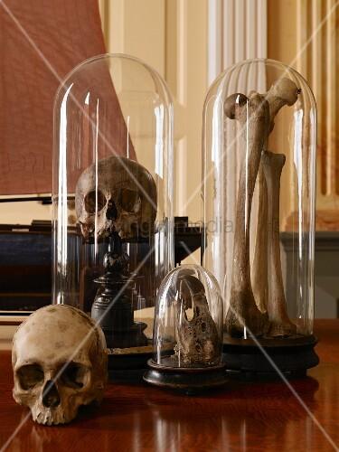 Schädel und Knochen auf antiken Holzständern mit schützender Glashaube