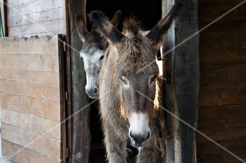 Donkeys in doorway of wooden stable