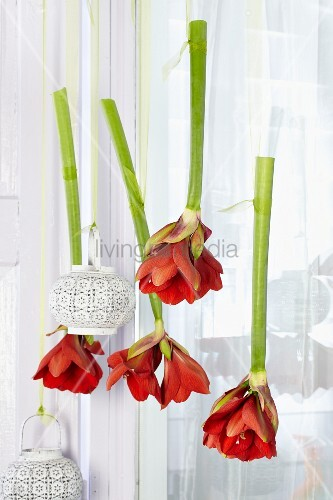h ngende amaryllis mit windlichtern bild kaufen living4media. Black Bedroom Furniture Sets. Home Design Ideas