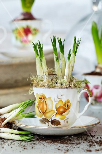 Crocuses in romantic teacup