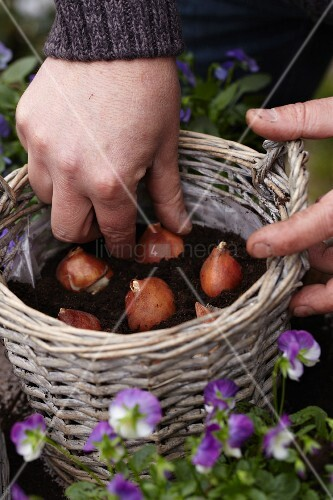 Planting tulip bulbs in basket for autumn display