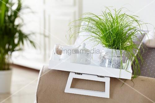 Potted Cyperus alternifolius 'Zumula' (cat grass) on tray in living room