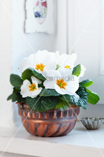 Cake mould used as planter for primula