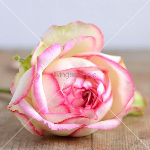weiße Rosenblüte mit pinkfarbenem Rand (Close Up)