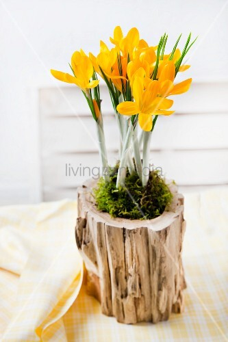 Arrangement of yellow crocuses and moss in hollow log on set table