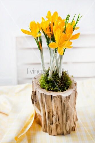 Arrangement von gelbem Krokus mit Moos in einem ausgehöhlten Stück Holz auf dem gedeckten Tisch