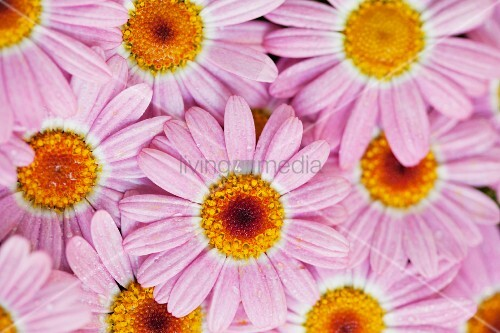 Pink edible flowers