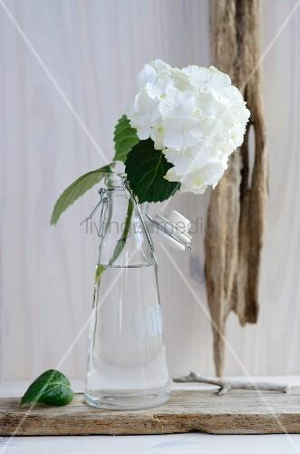 Weisse Hortensienblüte in einer Glasflasche