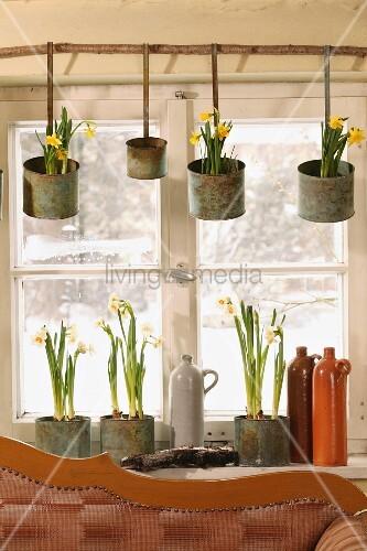 Narzissen in Zinktöpfen vor dem Fenster aufgehängt und auf Fensterbank