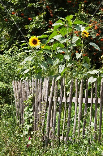 Sunflowers next to wooden fence in cottage garden