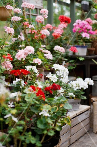 Geraniums of different colours in greenhouse