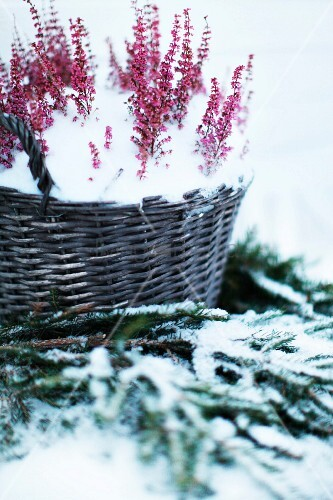 Snowy basket of heather on fir branches